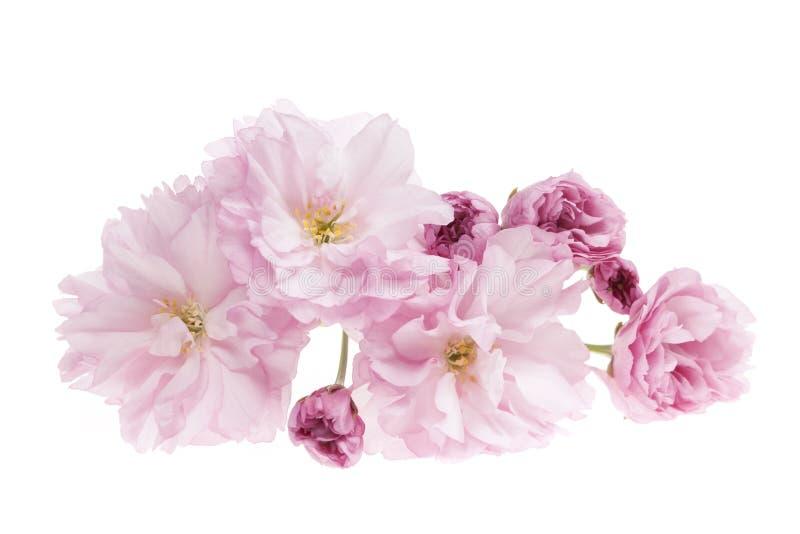 被隔绝的樱花 图库摄影