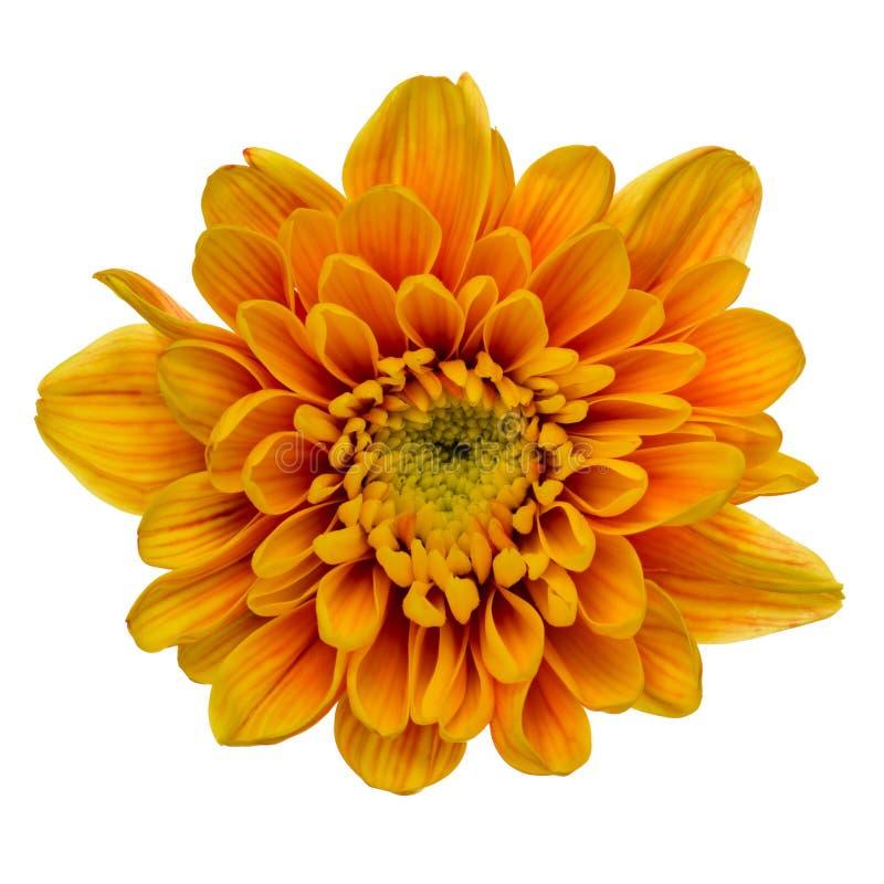 被隔绝的橙色菊花 免版税库存照片