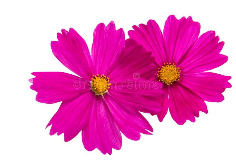 被隔绝的波斯菊的花 免版税图库摄影