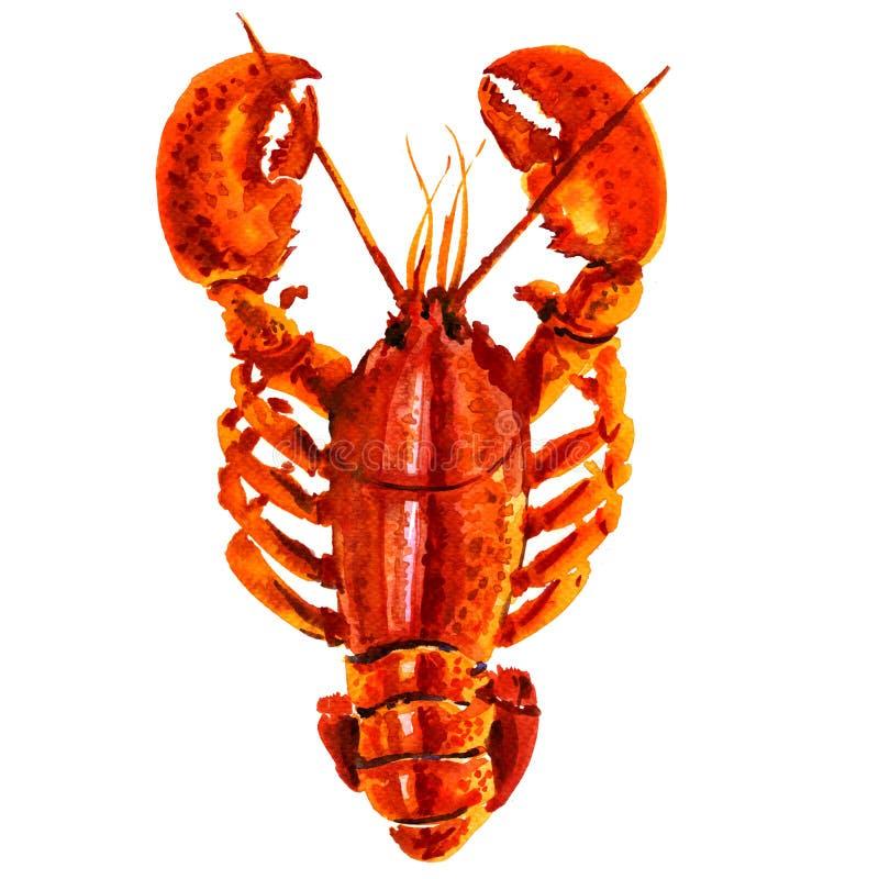 被隔绝的煮沸的红色小龙虾,在白色的水彩例证 向量例证