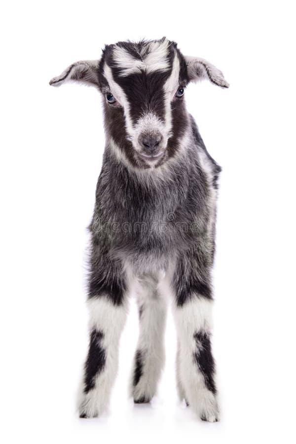 被隔绝的牲口山羊 库存照片