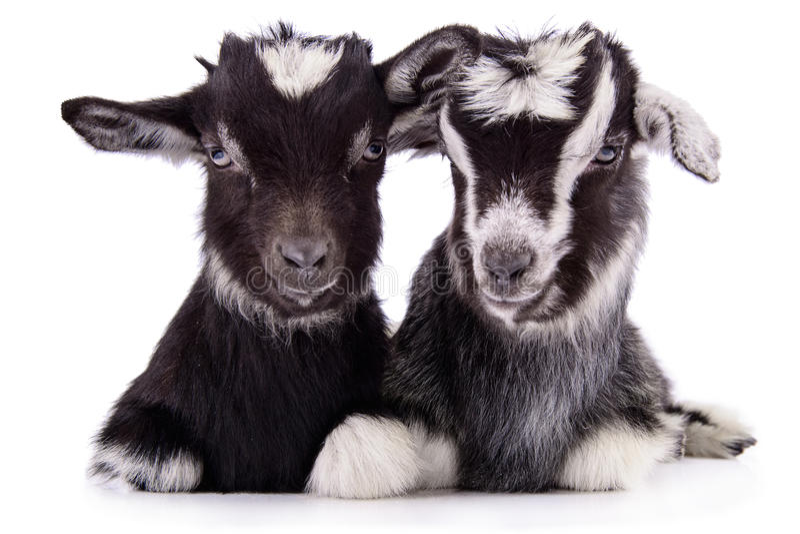 被隔绝的牲口山羊 免版税库存图片