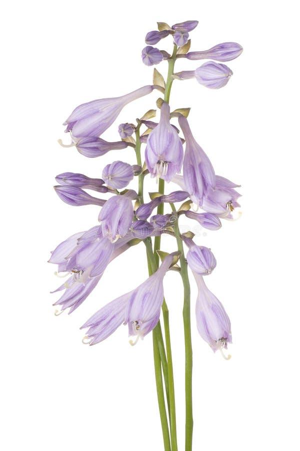 被隔绝的玉簪属植物花 库存图片