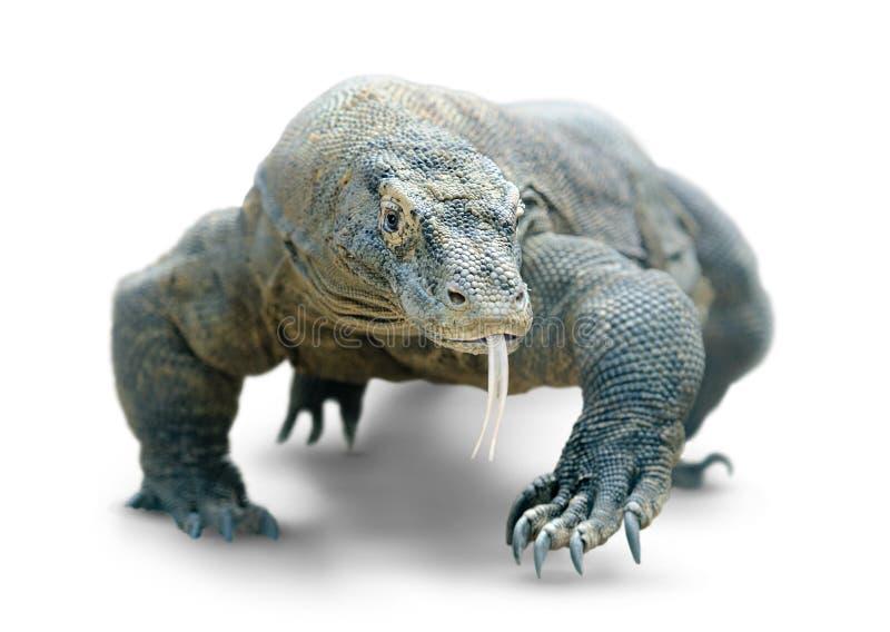被隔绝的科莫多巨蜥 库存图片