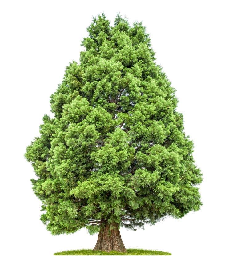 被隔绝的红木树 免版税图库摄影