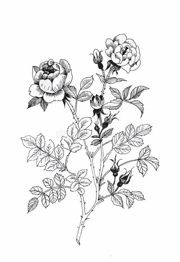 被隔绝的美丽的单色,黑白花 手拉的等高线冲程 库存例证