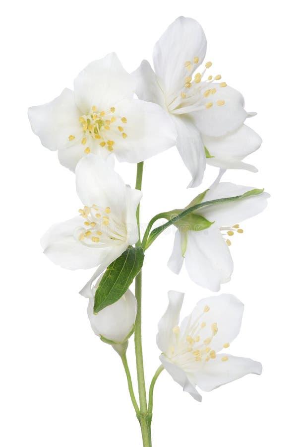 被隔绝的美丽的茉莉花七花 免版税库存图片