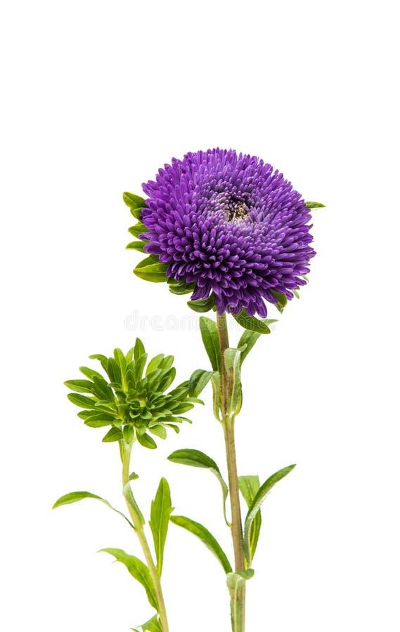 被隔绝的美丽的菊花 免版税库存照片