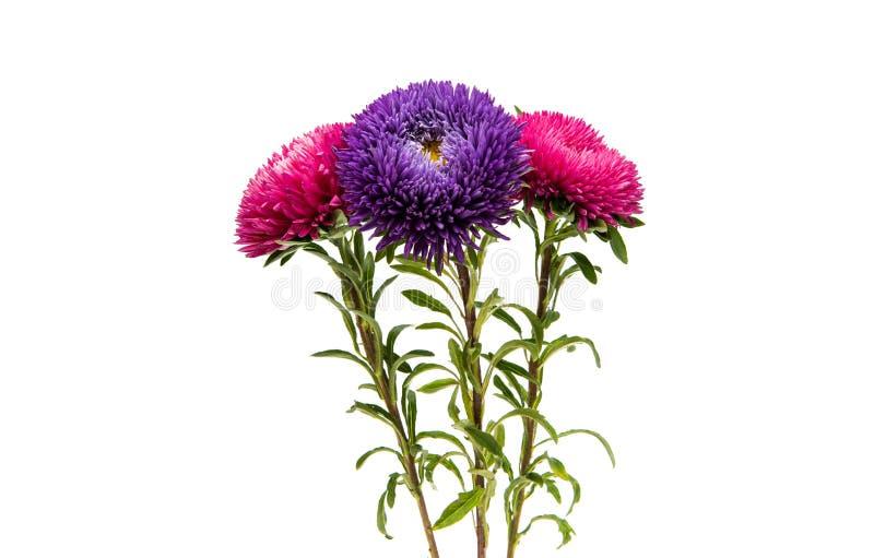 被隔绝的美丽的菊花 免版税图库摄影