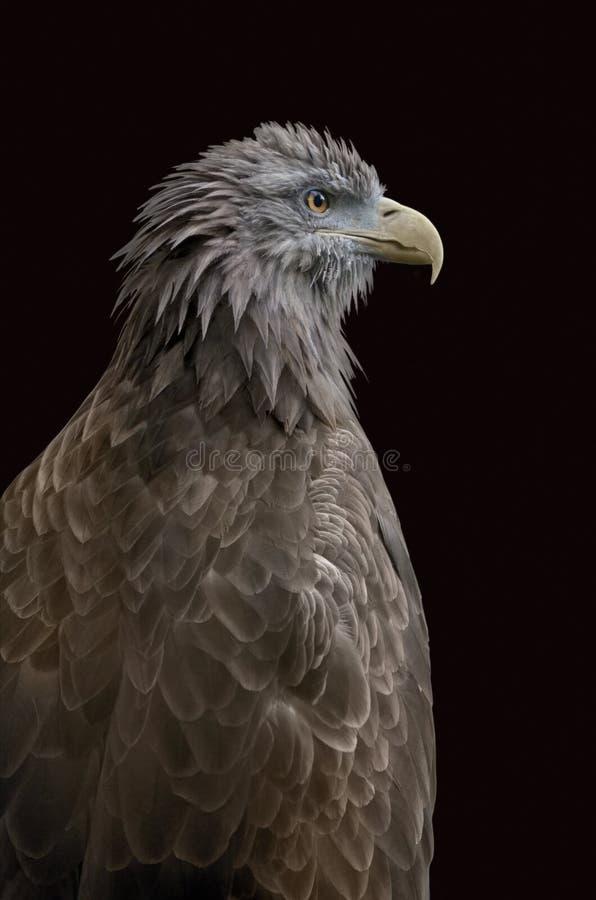 被隔绝的老鹰 库存图片