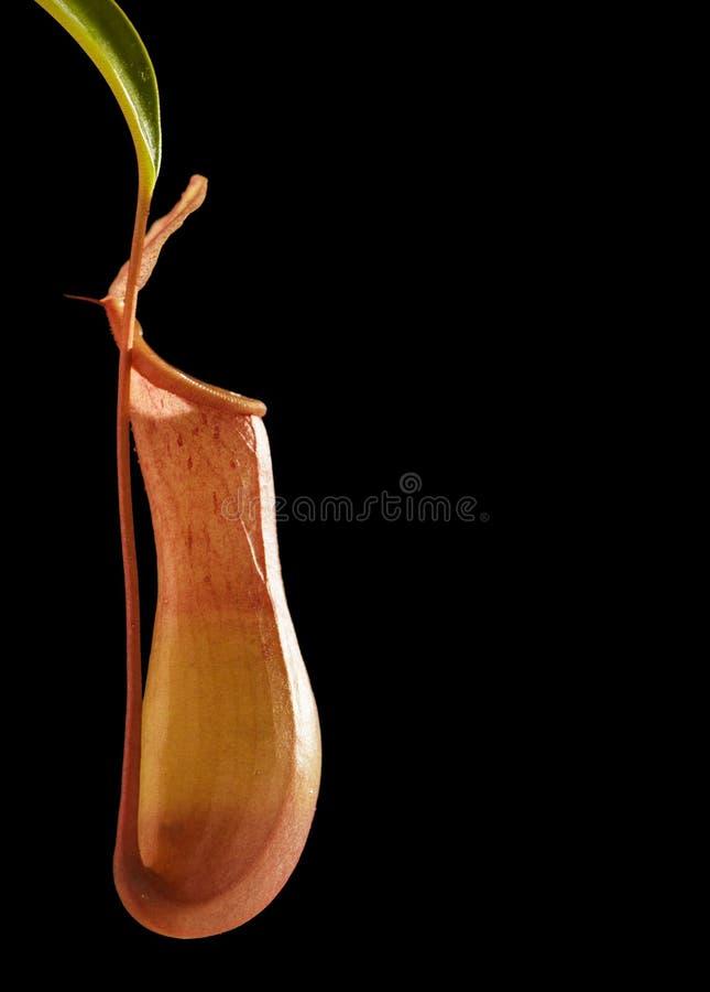 被隔绝的肉食植物(黑背景) 免版税图库摄影
