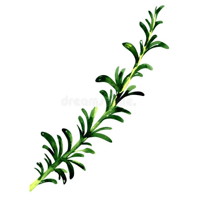 被隔绝的迷迭香的新鲜的绿色枝杈,在白色的水彩例证 向量例证