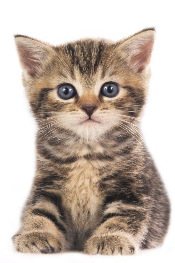 被隔绝的逗人喜爱的英国shorthair小猫 免版税库存图片