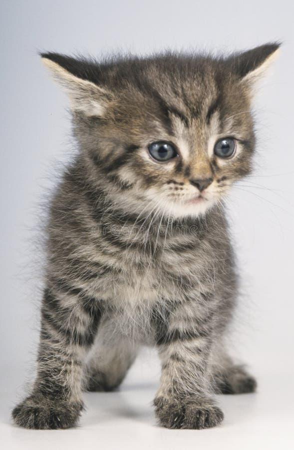 被隔绝的逗人喜爱的英国shorthair小猫 免版税库存照片