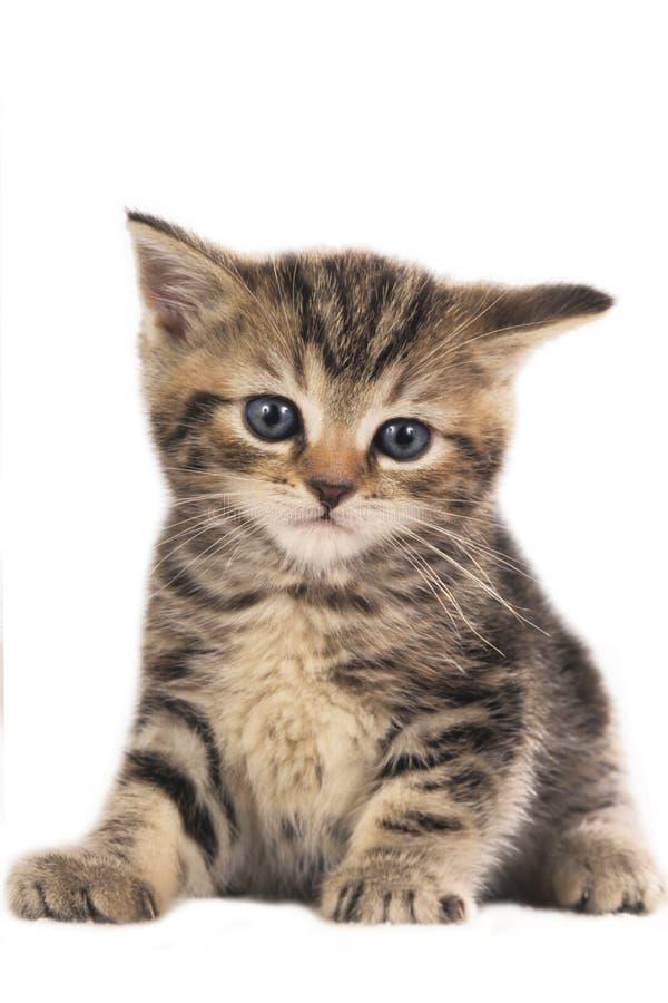 被隔绝的逗人喜爱的英国shorthair小猫 免版税图库摄影