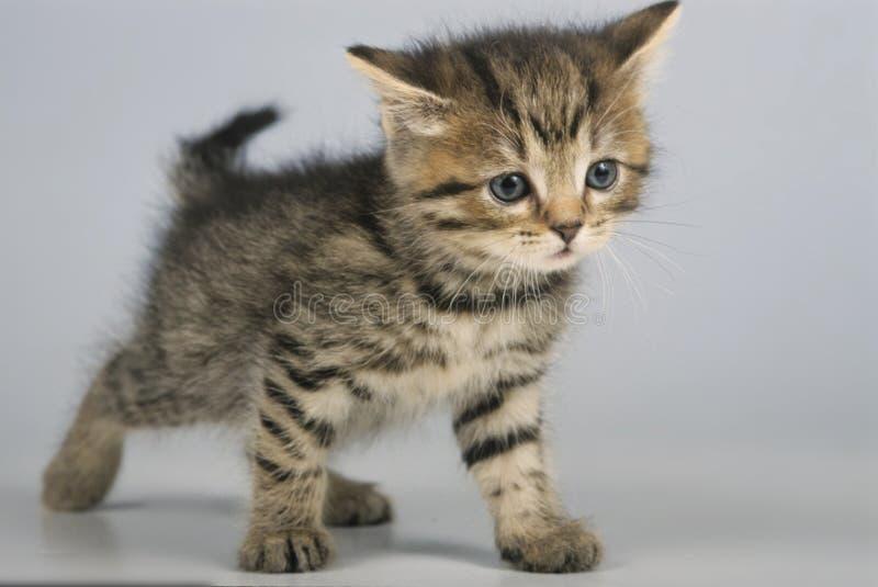 被隔绝的逗人喜爱的英国shorthair小猫 库存照片