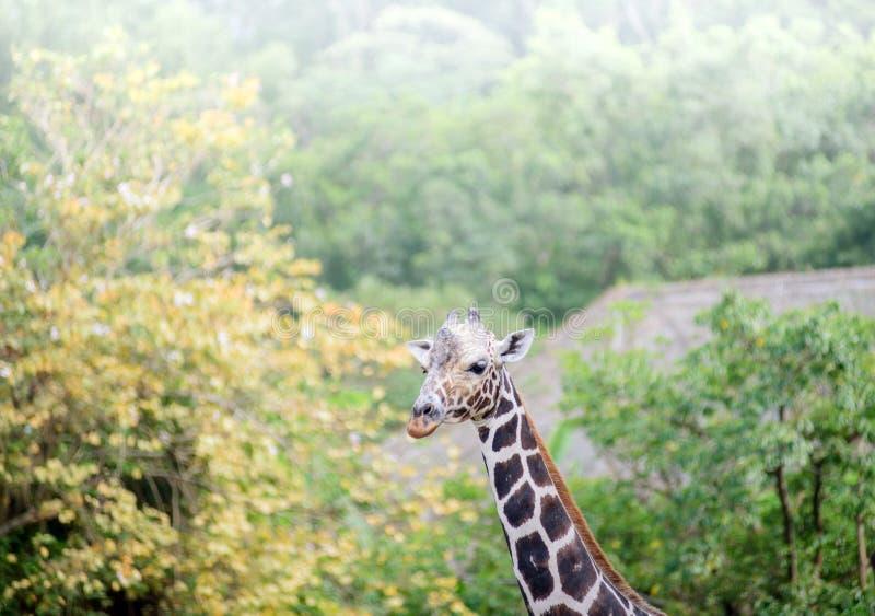 被隔绝的长颈鹿的面孔 免版税图库摄影