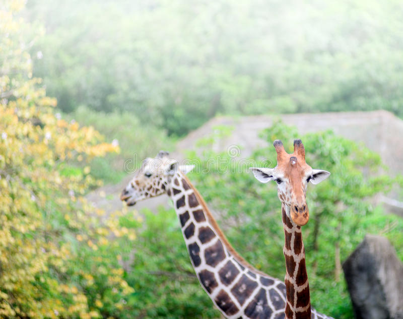 被隔绝的长颈鹿的面孔 免版税库存照片