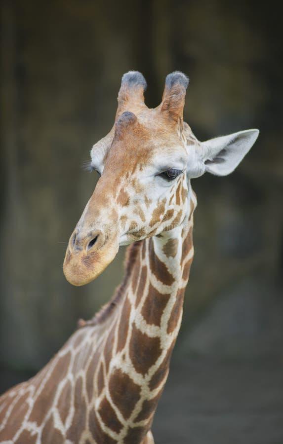 被隔绝的长颈鹿的面孔 库存照片