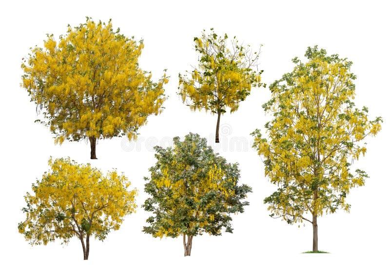 被隔绝的阵雨树的汇集与黄色花的在白色backgroud 免版税库存图片