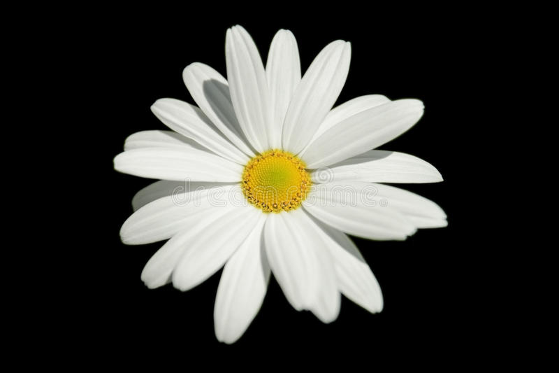 被隔绝的雏菊。 免版税图库摄影