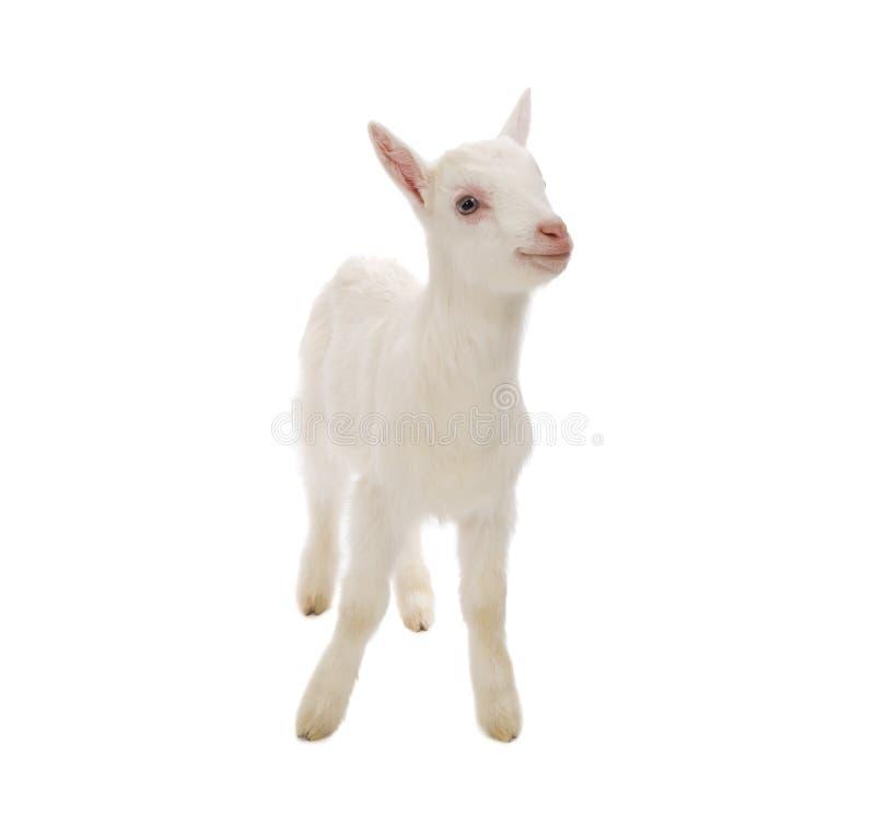 被隔绝的婴孩牛奶山羊 免版税库存照片