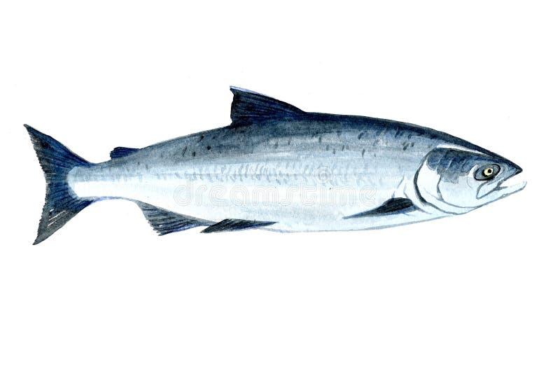 被隔绝的水彩唯一三文鱼鱼 皇族释放例证
