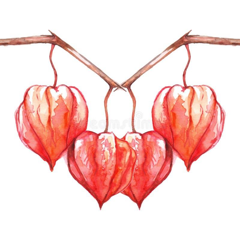 被隔绝的水彩手拉的空泡酸浆灯笼果果子莓果 向量例证