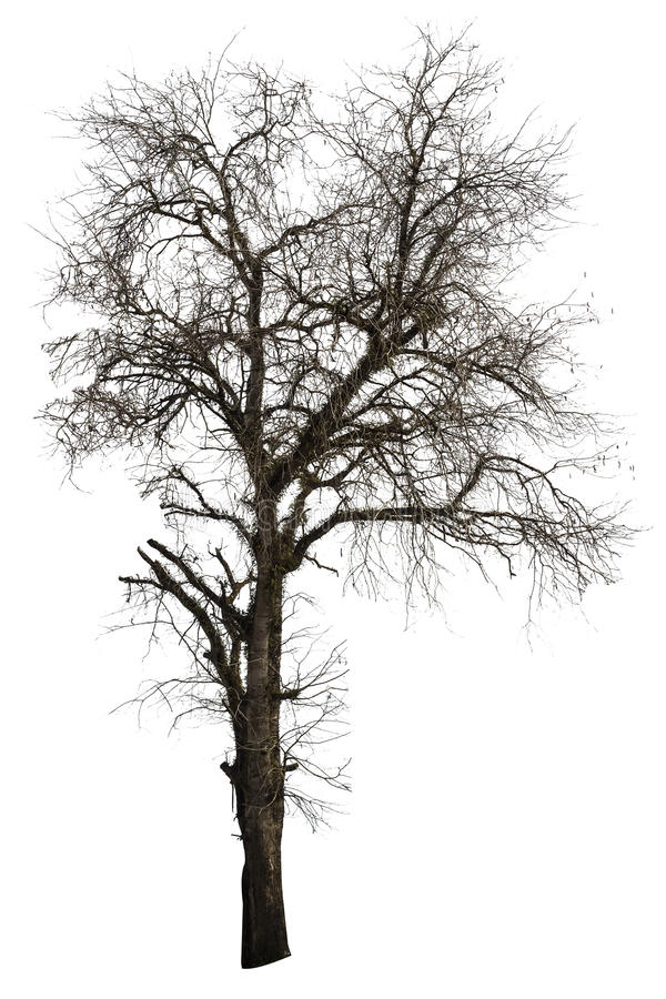 被隔绝的死的罗望子树 免版税图库摄影