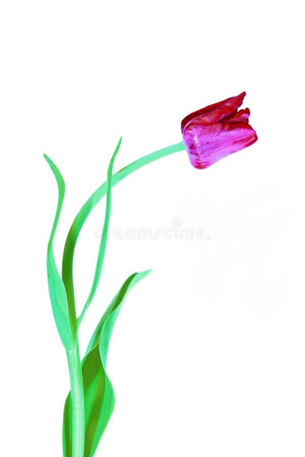 被隔绝的绯红色郁金香花 库存图片