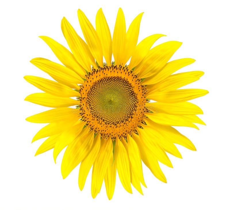 Download 被隔绝的黄色向日葵写背景 库存图片. 图片 包括有 叶子, 空白, bossies, 玻色子, 圈子, 照亮 - 59109527