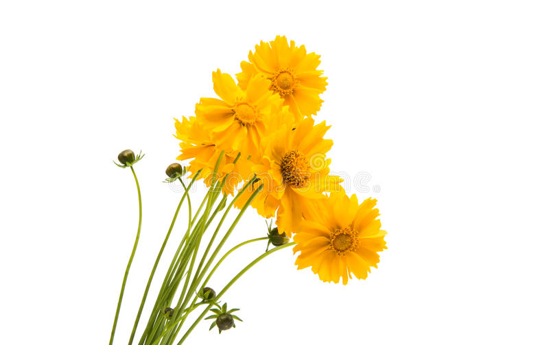 被隔绝的黄色花金鸡菊 库存照片