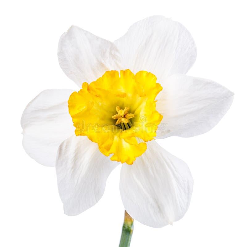 Download 被隔绝的水仙花 库存照片. 图片 包括有 对象, 开花的, 水仙, 新鲜, 题头, beautifuler - 72362672