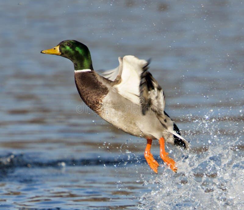 被震惊的野鸭鸭子 免版税图库摄影