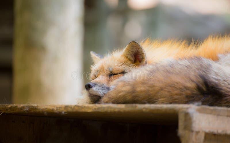 被预留的Fox,宫城,日本 库存照片