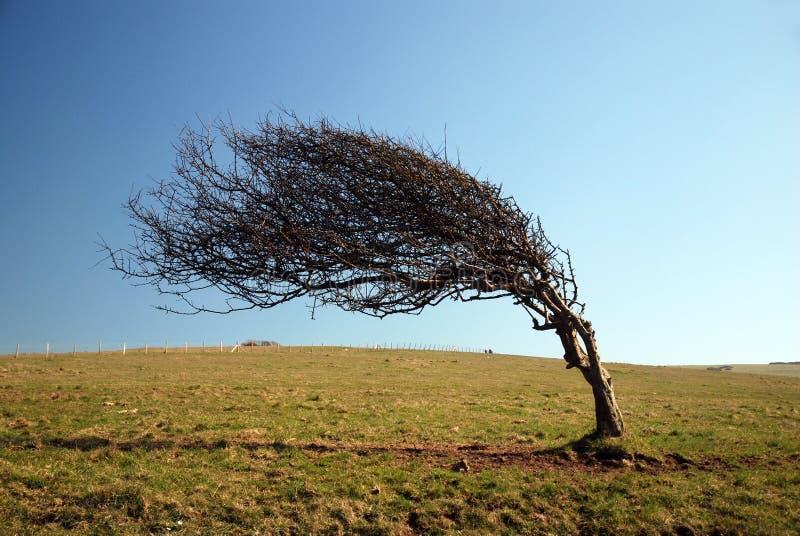 被风吹扫的结构树 免版税库存照片