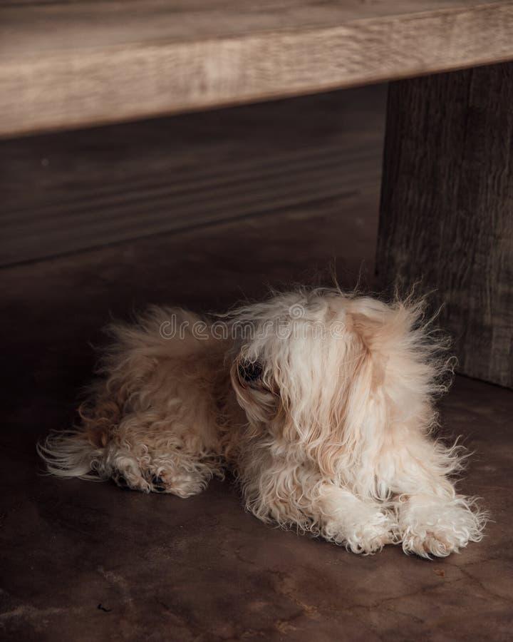 被风吹扫长卷毛狗 库存照片