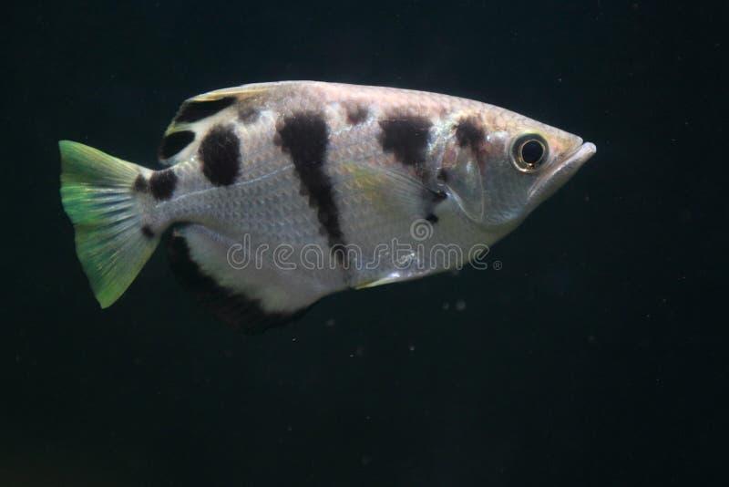 Download 被结合的射水鱼 库存照片. 图片 包括有 生活, 海洋, ballards, 敌意, 本质, 曲头钉 - 30325230