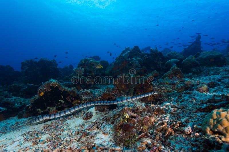 被结合的海蛇 免版税库存图片