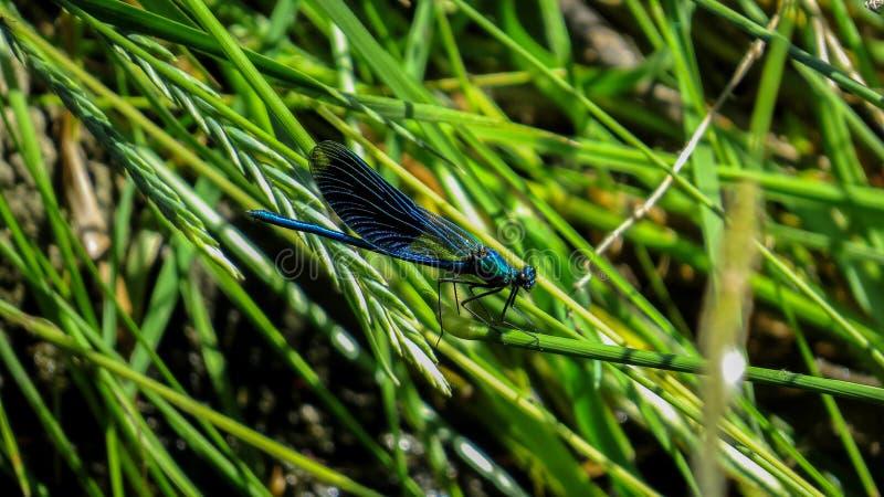 被结合的闺女蜻蜓- Calopteryx splendens 免版税库存图片