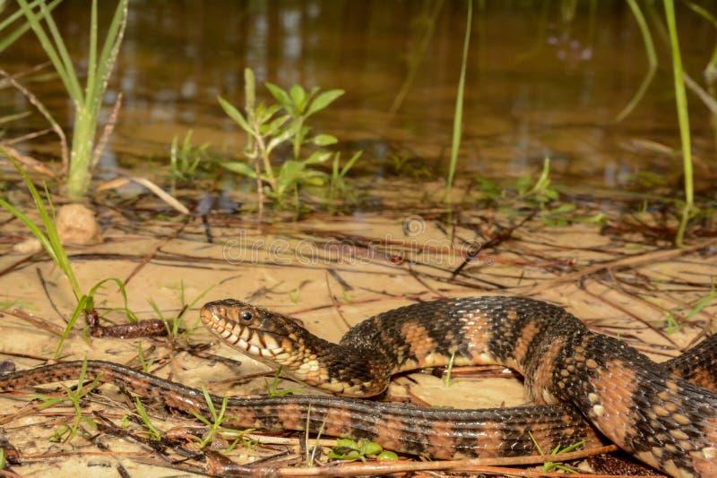 被结合的水蛇 免版税库存照片