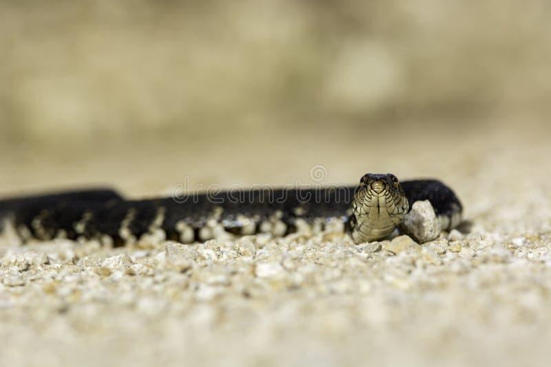 被结合的水蛇 库存照片