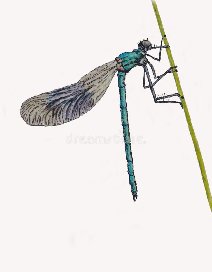 被结合的蜻蜓 皇族释放例证