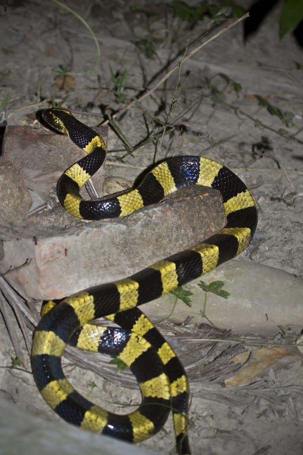 被结合的krait蛇硬币泰卢固环蛇fasciatus在尼泊尔 免版税图库摄影