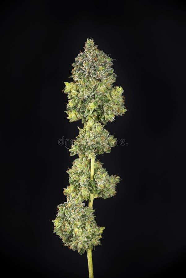 被整理的大麻可乐mangolope大麻张力harveste 库存图片