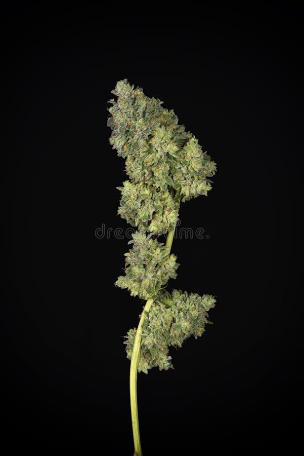 被整理的大麻可乐mangolope大麻张力harveste 图库摄影
