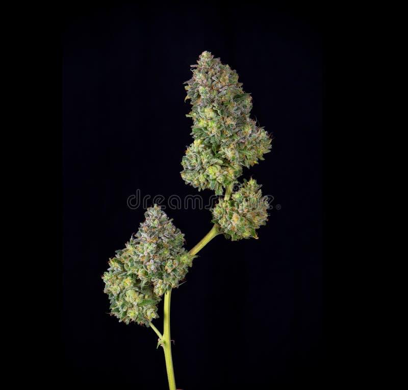 被整理的大麻可乐mangolope大麻张力jus细节  库存图片