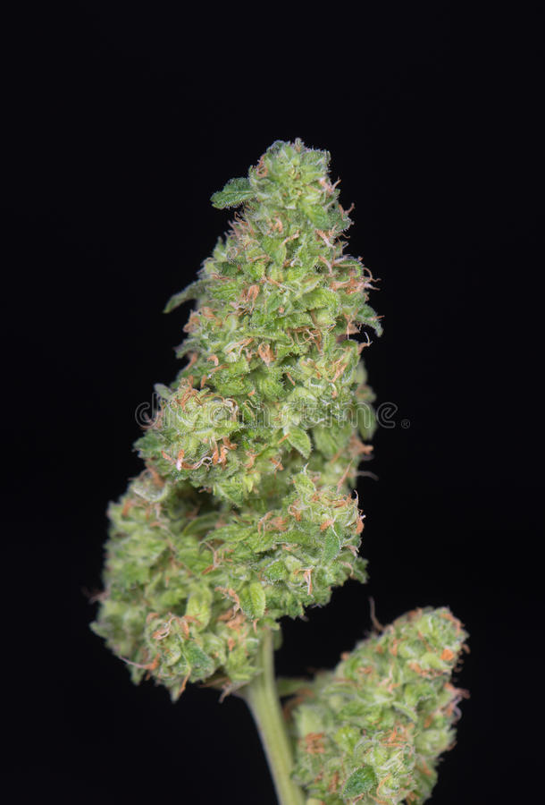 被整理的大麻芽& x28; 绿色高明的大麻strain& x29;- 库存照片