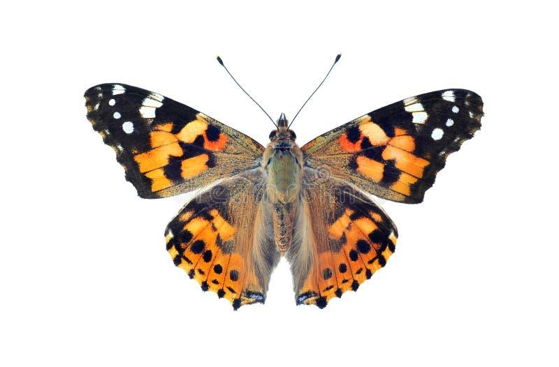 被绘的夫人蝴蝶,隔绝在白色 库存照片