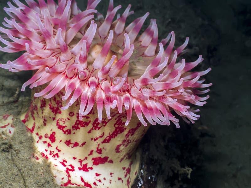 被绘的银莲花属(Urticina grebelnyi) 免版税库存图片